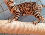 Bengal breed bengal cat kitten
