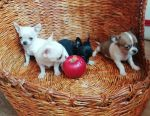 Chihuahua kızlar ve erkekler