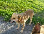 Собаке Бимке очень хочется стать хозяйским