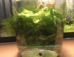 Мох водный салат растения водоросли