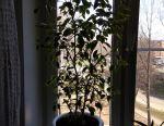 Benjamin Ficus rubber