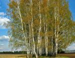 Huş ağacı yaprakları. Çelikler