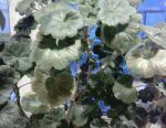 Big geranium bush