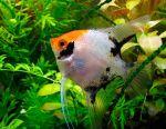 Aquarium fish angelfish