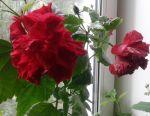 Hibiscus Red - Magenta