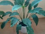Spathiphyllum (female happiness) h 90 cm