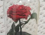 Роза 5 лет