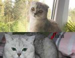 Σκωτσέζικα γατάκια από μπαμπά με γενεαλογία