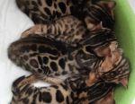 Bengal Show Bengal Premium Kittens