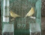 Canary couple with the cage 50 €