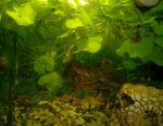 Living plants for the aquarium