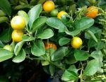 Tangerine tree with fruits