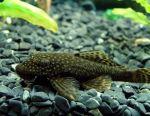 Aquarium fish Somik Antsistrus