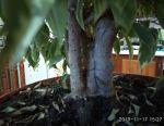 Ficus Benjamin variegated