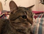 Cat Tigris