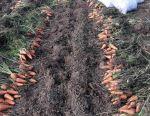 En-gros de morcovi Cascade Crimeea