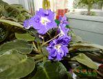 Violetele terry