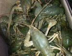 Live crayfish and boiled crayfish with delivery
