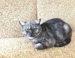 Σκωτική γάτα