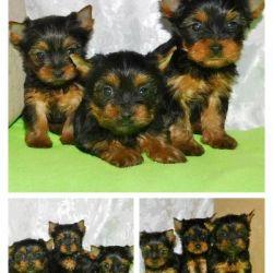Cute Yorkshire Terrier Sisters
