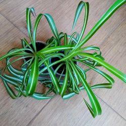 Chlorophytum Bonnie curly