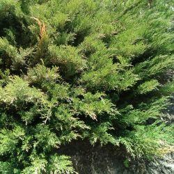 Juniper Juniperus