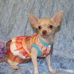Chihuahua girl cream g.