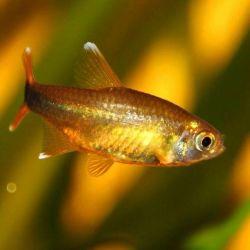 Ψάρια ενυδρείου Χαλκός τετρα.