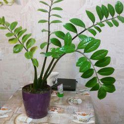 Zamioculcas (dollar tree)