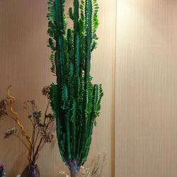 Euphorbia triunghiulară triunghiulară euforică