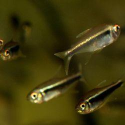 Ψάρια ενυδρείων μαύρο Νέον.
