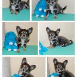 Mini blue and tan chihuahua boy