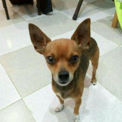 Pygmy toy terrier, ζευγάρωμα. Το αγόρι