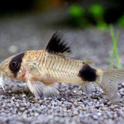 Ψάρια ενυδρείων.