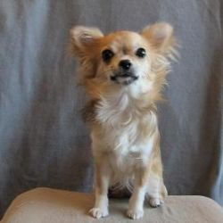 Chihuahua longhaired girl
