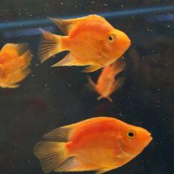 Ψάρια ενυδρείου Μωβ παπαγάλος