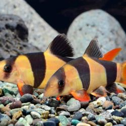 Aquarium fish botsia clown