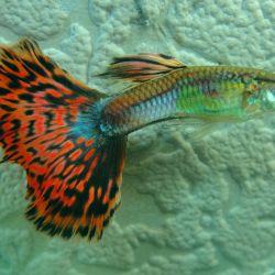 Γαρύφαλλο ψαριών με ενυδρείο Guppy.