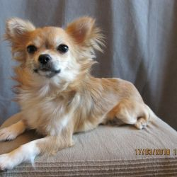 Puppy Chihuahua d / sh girl