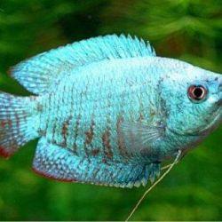 Ψάρια ενυδρείου Lalius κοβάλτιο