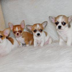 Mini Chihuahua Boys and Girls