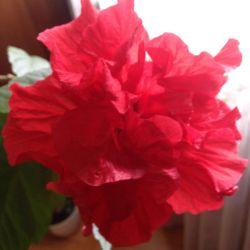 Гибискус ( роза китайская)