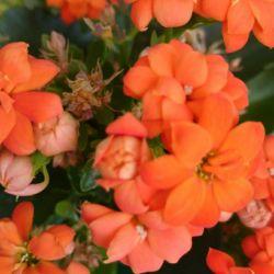 Kalanchoe Blossfelda Terry Orange