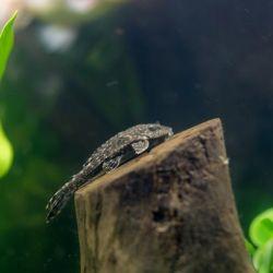 Ψάρια ενυδρείων Plecostomus