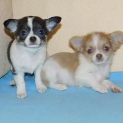 Chihuahua boys multi-colored