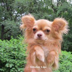 Chihuahua podroschenny d / w the boy