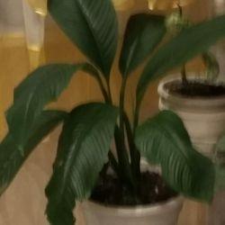 Dev spathiphyllum