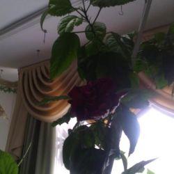 Rose giant Hibiscus