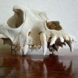 skull of wolf