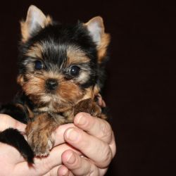 Yorkshire Terrier mini girl 09.02.18 g
